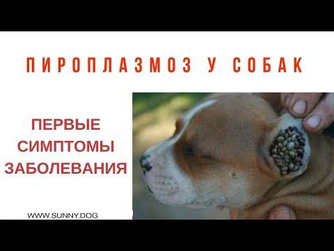 Как собака может заразиться пироплазмозом, и как лечится это заболевание?
