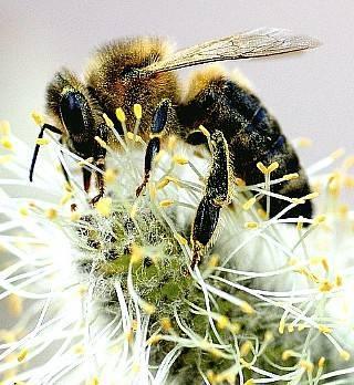 Польза пчелиной пыльцы для мужчин