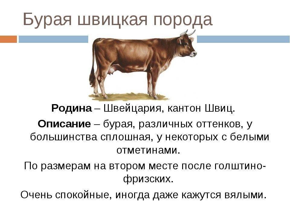 Симментальские коровы – универсальная порода крс