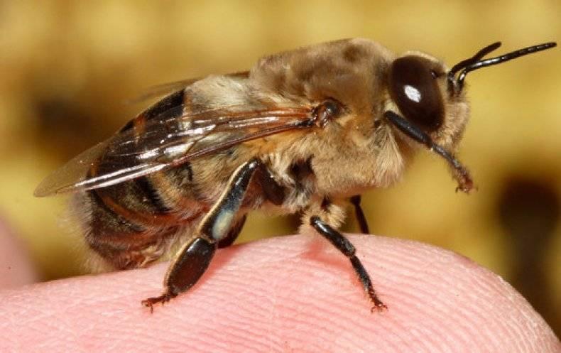 Чем полезен укус пчелы для человека