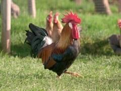 Леггорн порода кур описание - лучшие яичные куры, фото видео