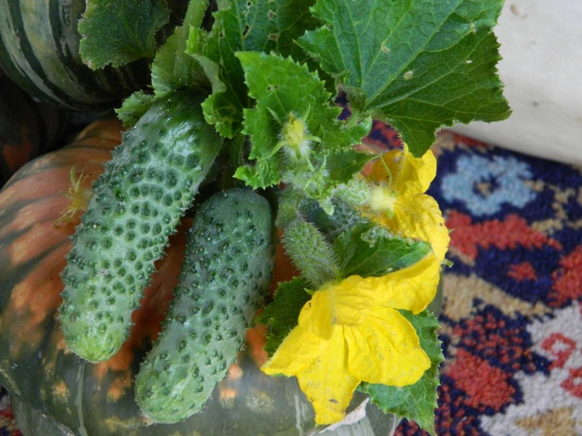 5 голландских семян огурцов: лучшие сорта для открытого грунта и теплиц селекции голландии