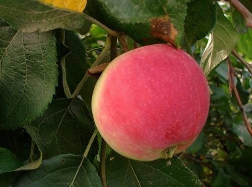 Сорт яблони серебряное копытце