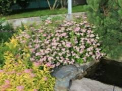 Японская спирея и другие виды спирей в саду: посадка и уход