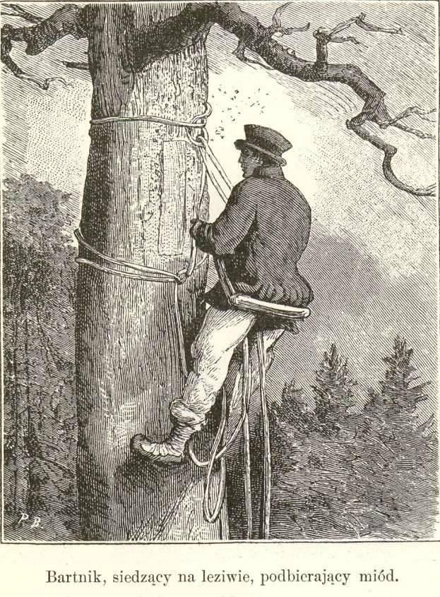 Бортничество - это старейшая форма пчеловодства. какое дерево годится для бортничества