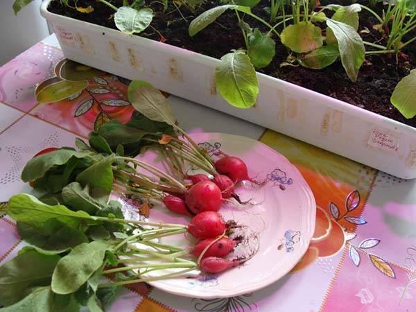 Почему редиска уходит в ботву или на листьях появляются дырочки: решение проблем при выращивании овоща