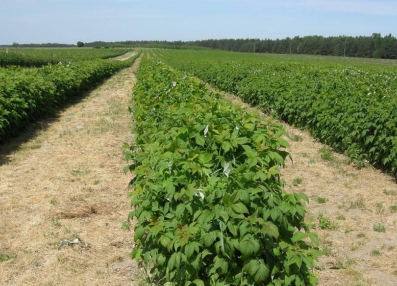 Сорт малины бабье лето: описание, уход и выращивание
