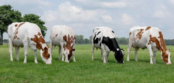 Характеристика и особенности голштинской породы коров
