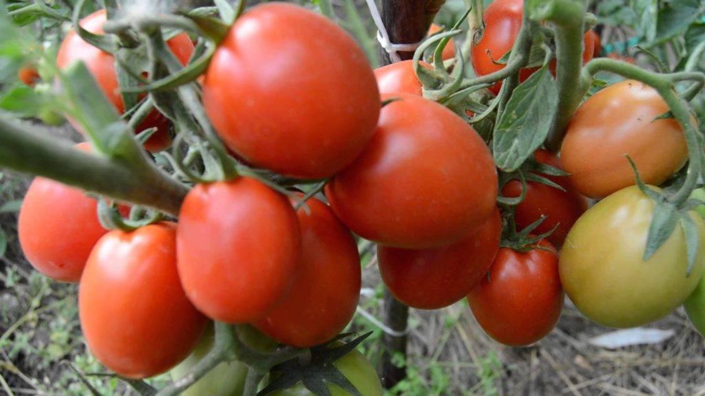 Какие семена томатов считаются лучшими сортами для сибири