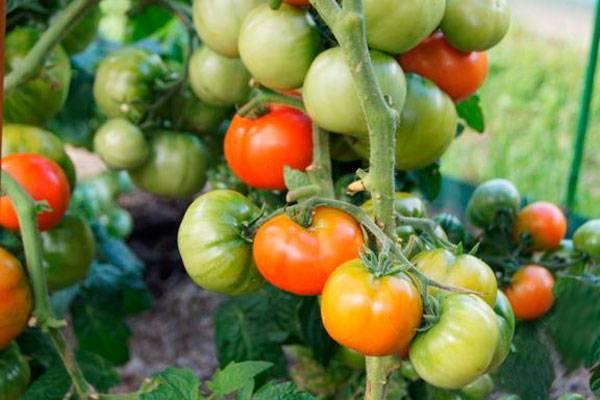 Томат бетта — описание сорта, урожайность, фото и отзывы садоводов