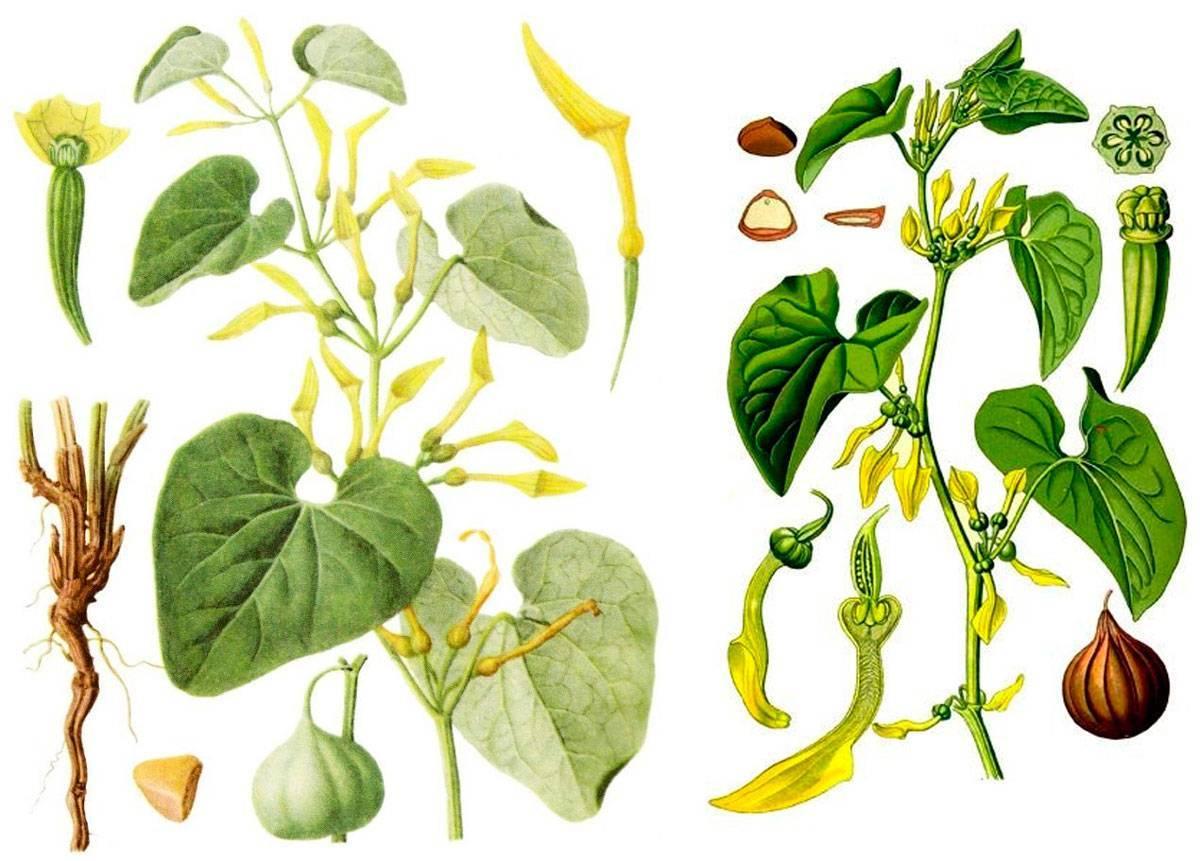 Трава кирказон лечебные свойства и противопоказания