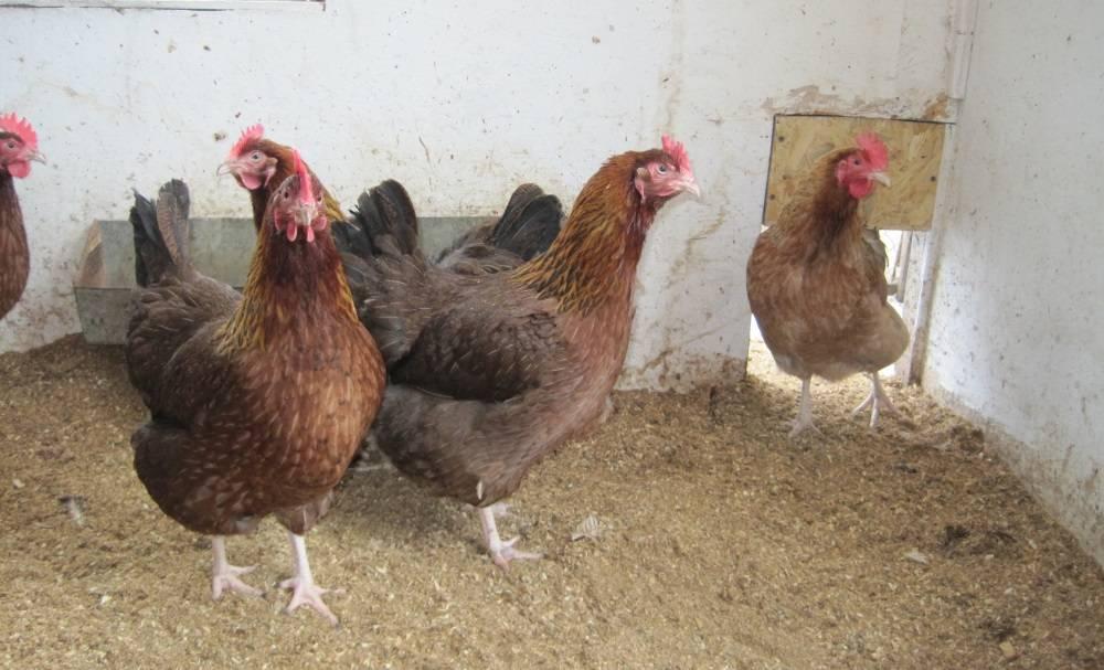 Мясо-яичная порода кур вельзумер — продуктивность и содержание