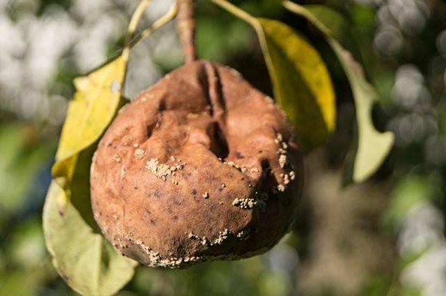 Как избавиться от гниения груш на дереве