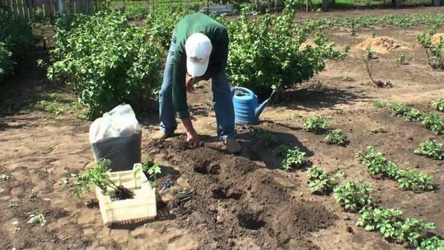 Помидоры данко: описание и урожайность сорта