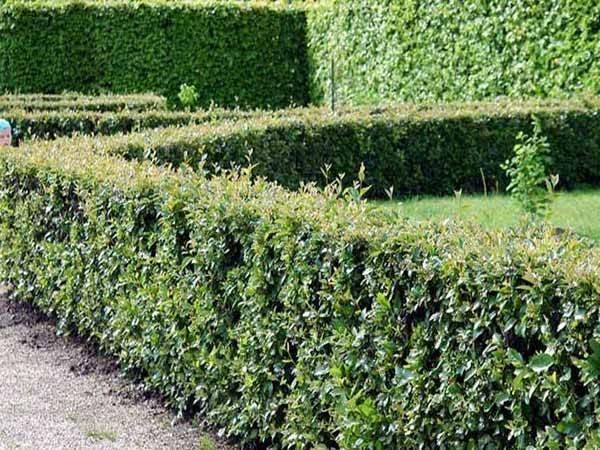 Особенности создания красивой живой изгороди из блестящего кизильника: фото, советы по посадке, размножению, обрезке
