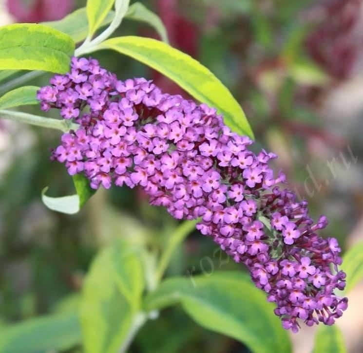 Выращивание буддлеи давида, уход, размножение, сорта и фото