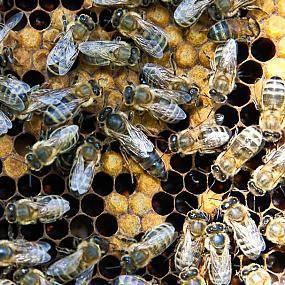 Как часто и какими способами заменять маток в пчелосемьях?