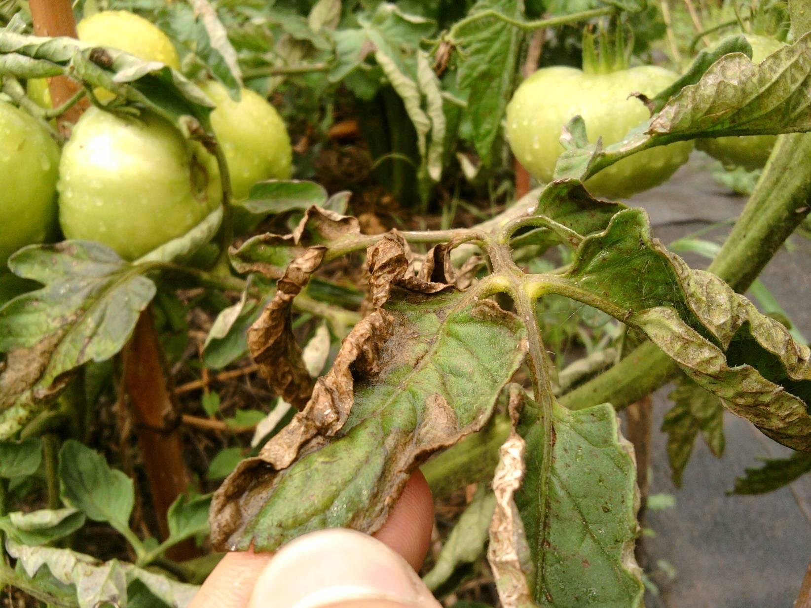 Болезни рассады томатов (помидоров) и их лечение в домашних условиях, что делать, если листья желтеют, сохнут, скручиваются и прочее