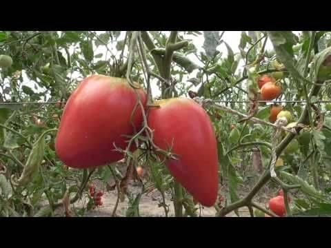 "Томат ""чудо земли"": характеристика и описание сорта, фото и рекомендации по выращиванию"