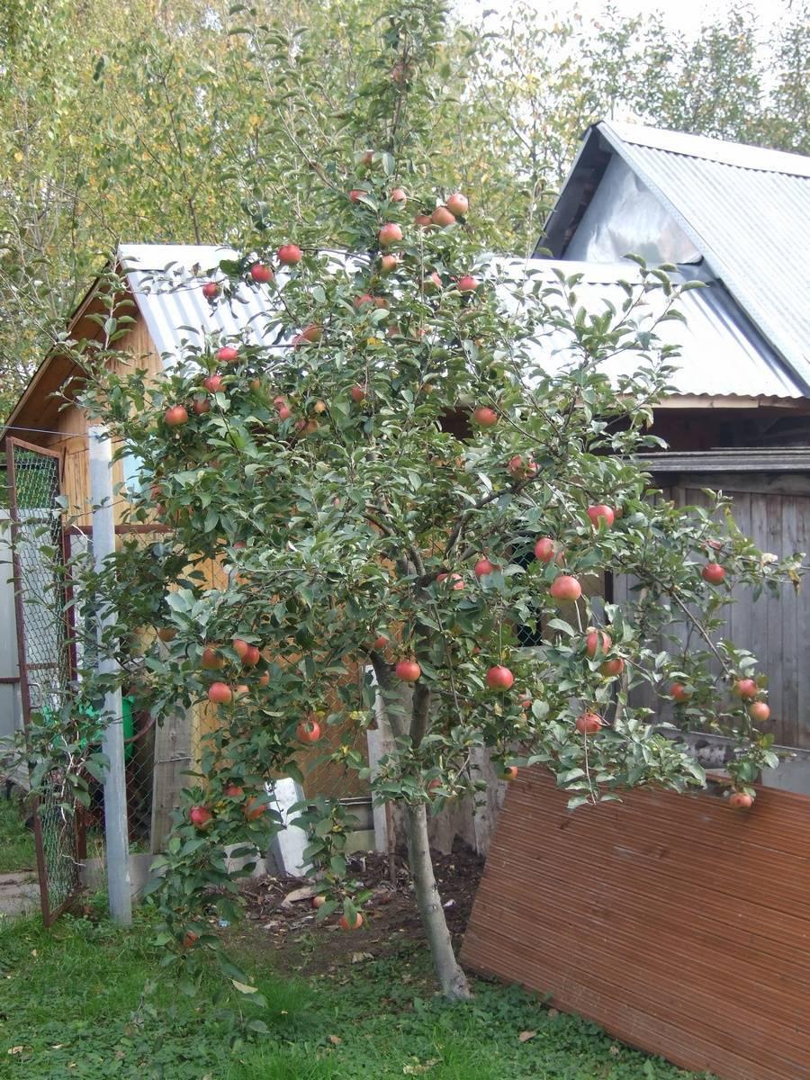 Особенности посадки и ухода за яблоней медуница