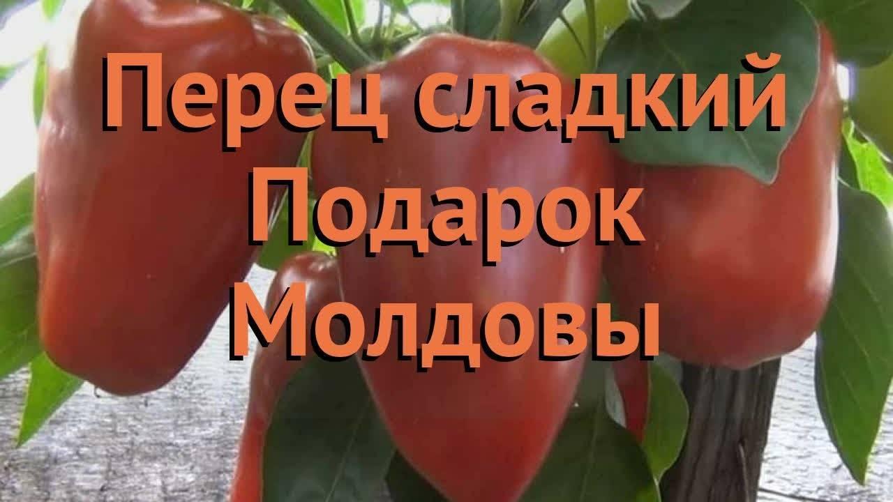 Перец подарок молдовы — описание сорта, фото, отзывы, посадка и уход