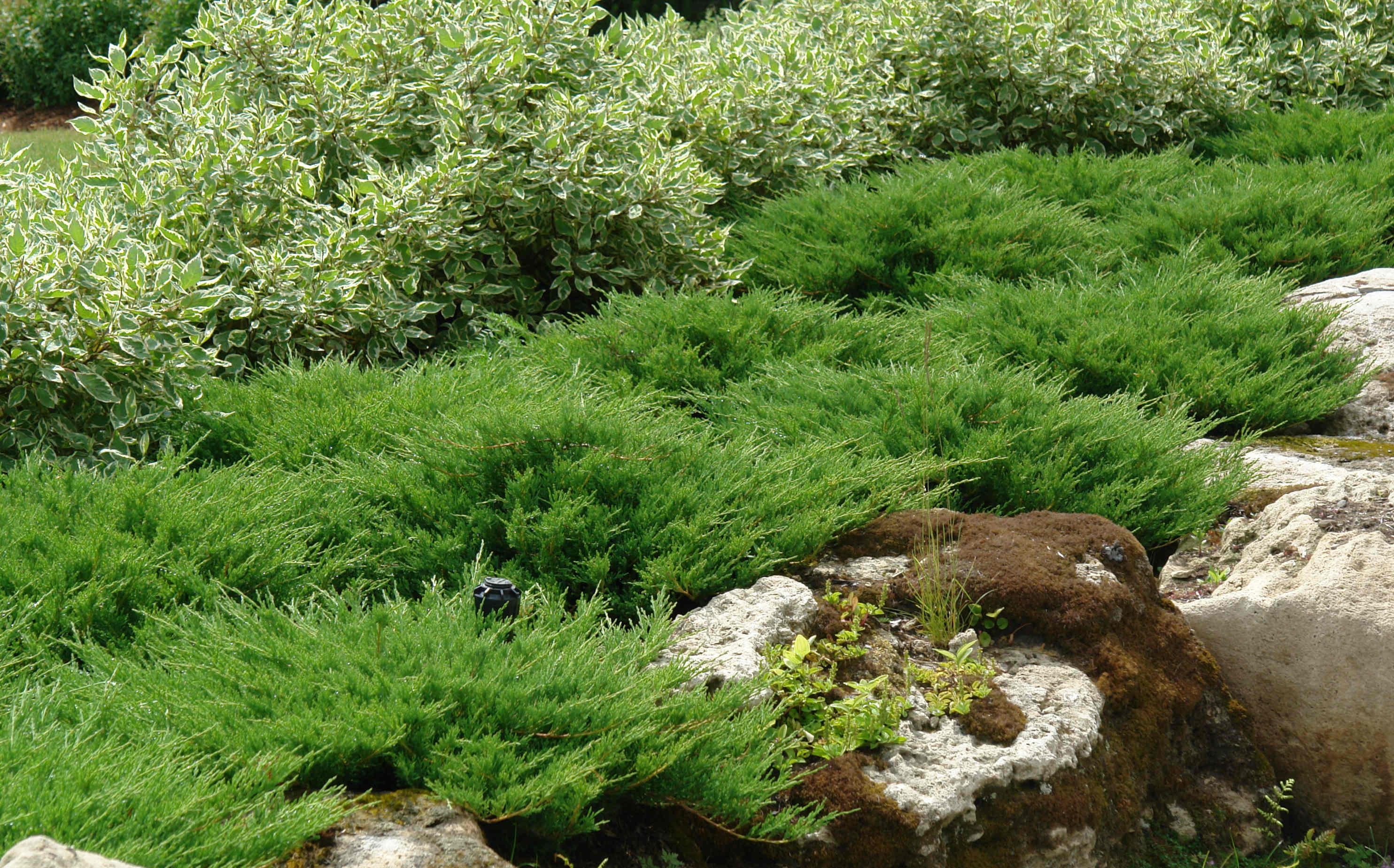 Можжевельник скальный мунглоу (juniperus scopulorum moonglow)