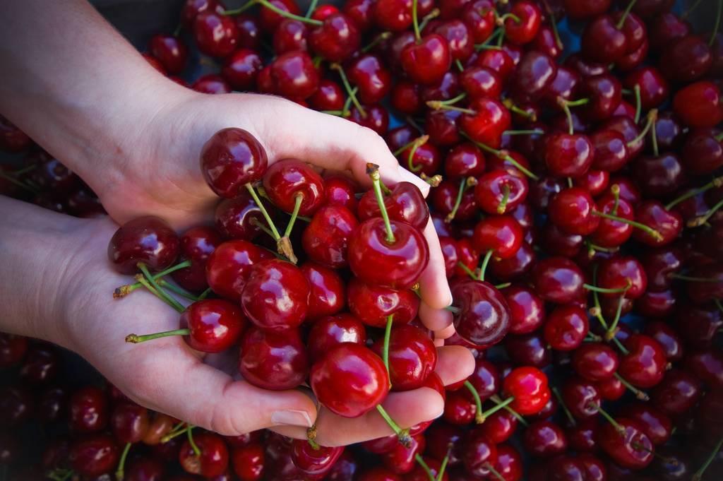 Почему сохнут ягоды вишни: на дереве, на ветках, после созревания