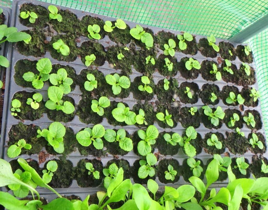 Примула из семян — выращивание, советы и хитрости