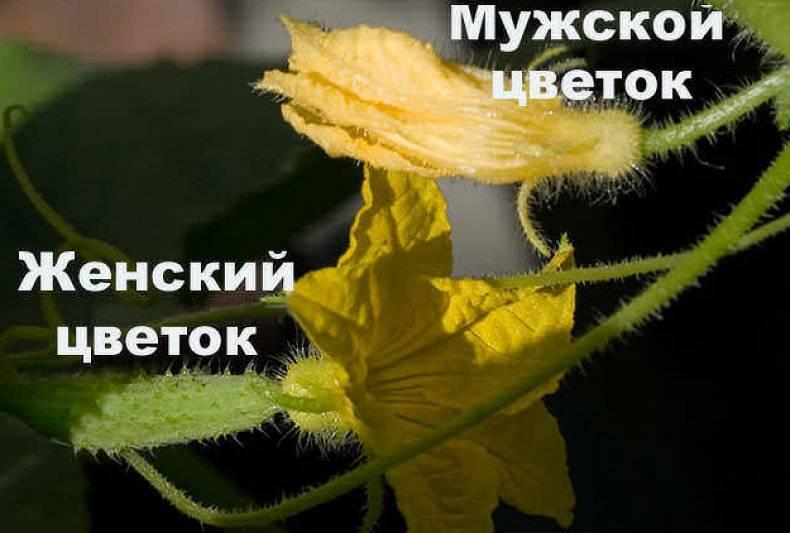 Выращиваем огурцы. пустоцвет: что делать?