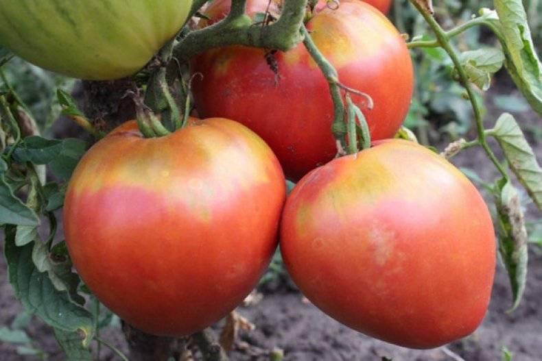 Желтоплодный томат из новинок под названием король сибири: подробное описание, агротехника, отзывы