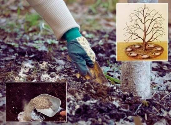 Чем подкармливать и удобрять молодую грушу весной?