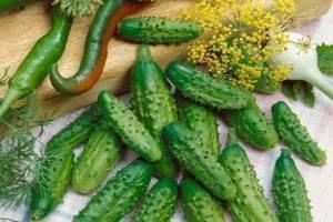Лучшие сорта огурцов для выращивания в открытом грунте: пчелоопыляемые и самоопыляемые (партенокарпические)