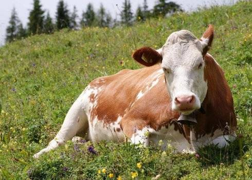 Пироплазмоз крупного рогатого скота — википедия