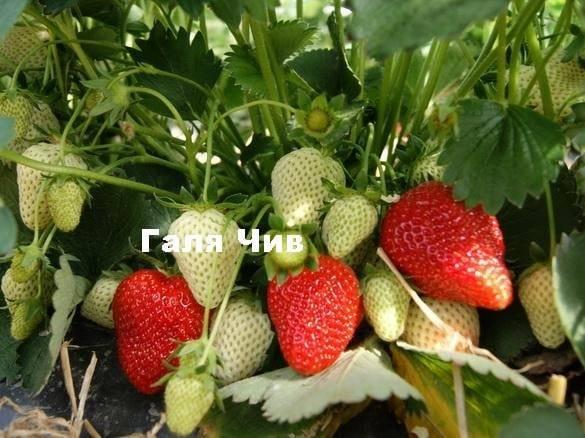 Клубника галя чив: описание сорта, отзывы, фото огородников