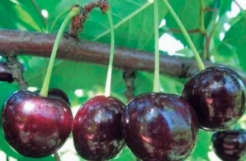Характеристика и описание вишни «чернокорка»