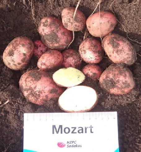 Картофель Моцарт