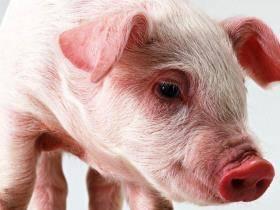 Свиноводство как бизнес: с чего начать, как преуспеть, выбор породы
