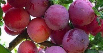 Слива кабардинка — описание сорта, фото, отзывы садоводов