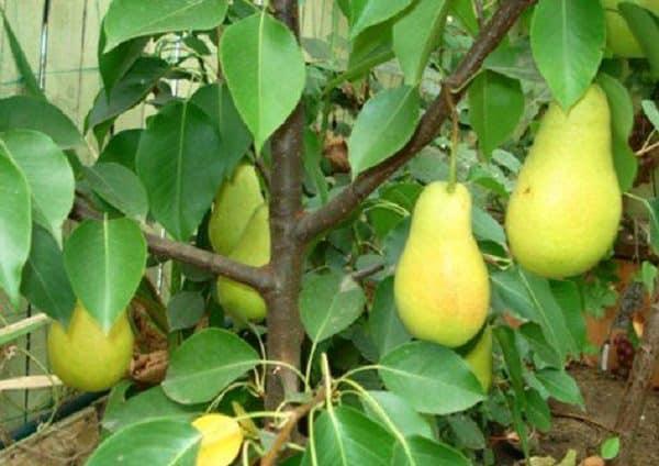 Груша форель описание фото. груша «форель»: особенности сорта и выращивание