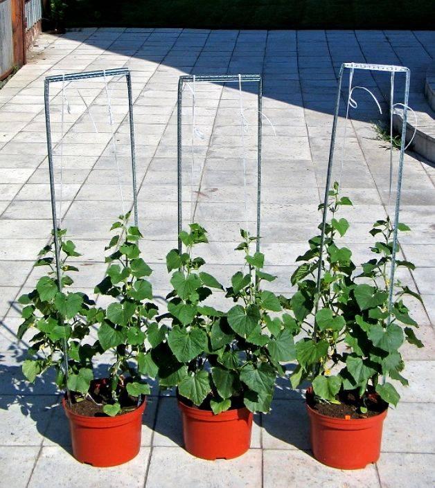Огурцы на балконе: посадка и выращивание в пластиковых бутылках