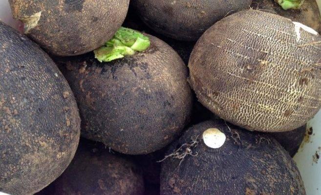 Посадка и уход за черной редькой в открытом грунте на даче: как правильно и когда выполнить посев, в какие сроки проклевываются семена, также чем удобрить растение?