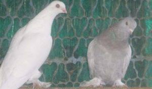 Турецкие голуби такла и особенности прекрасного вида