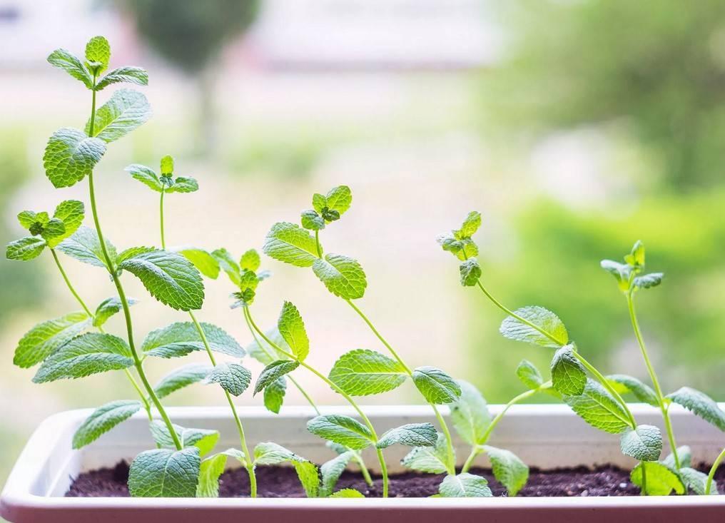 Как посадить мяту перечную в открытом грунте и ухаживать за ней: как выращивать