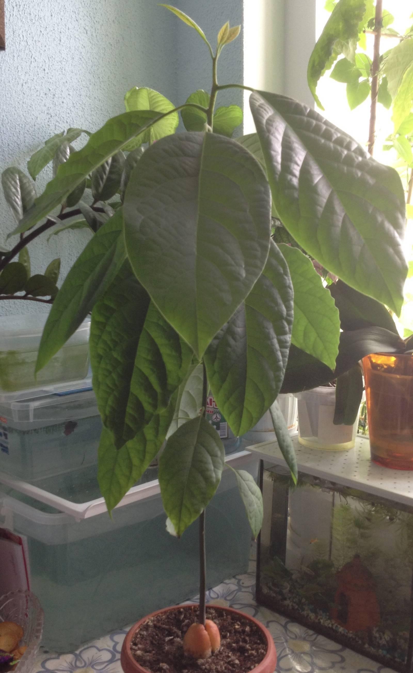 Сохнут листья у авокадо что делать. сохнут листья у авокадо