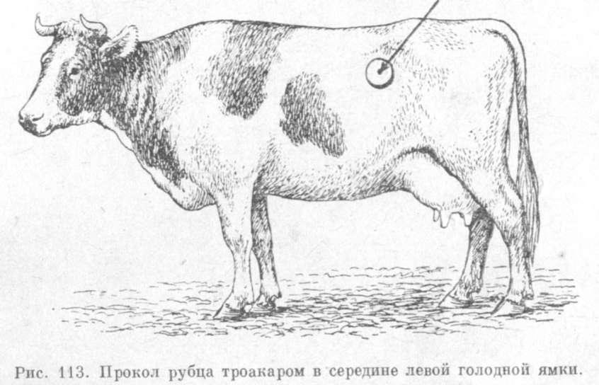 Травматический перикардит у жвачных животных