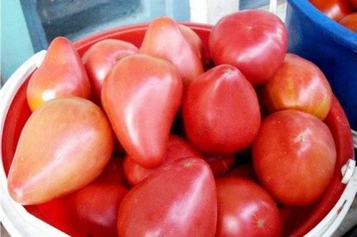 Помидоры орлиный клюв: выращивание, характеристика и описание сорта томата