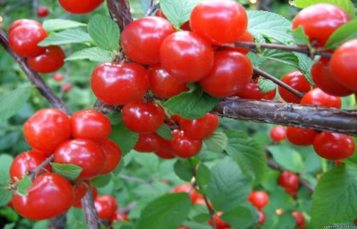 Войлочная вишня — сорта