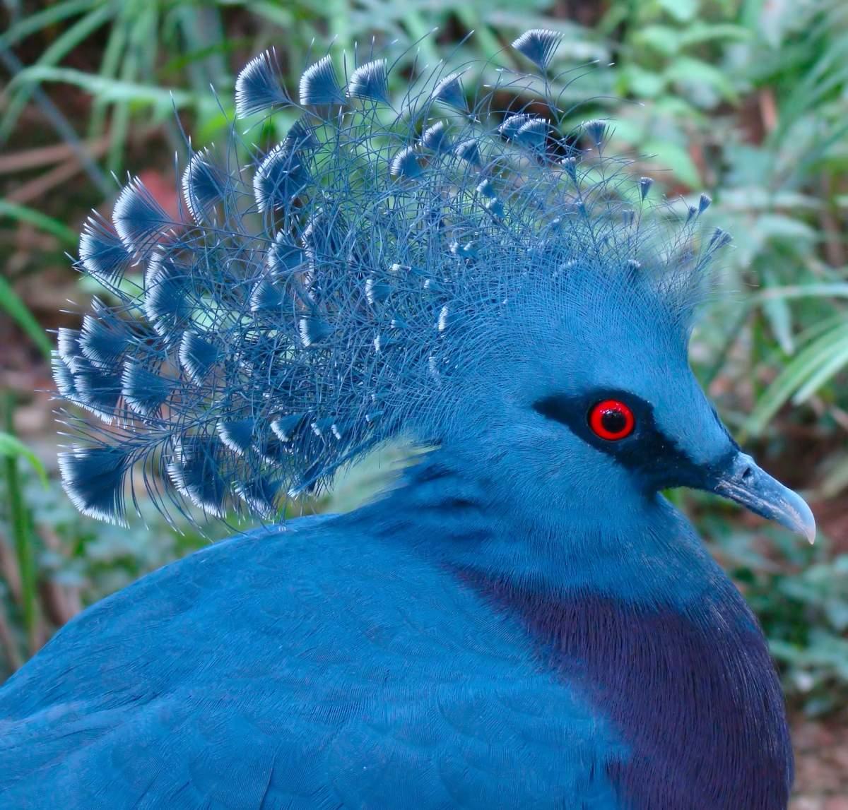 Голубь веероносный венценосный - общая информация - 2020
