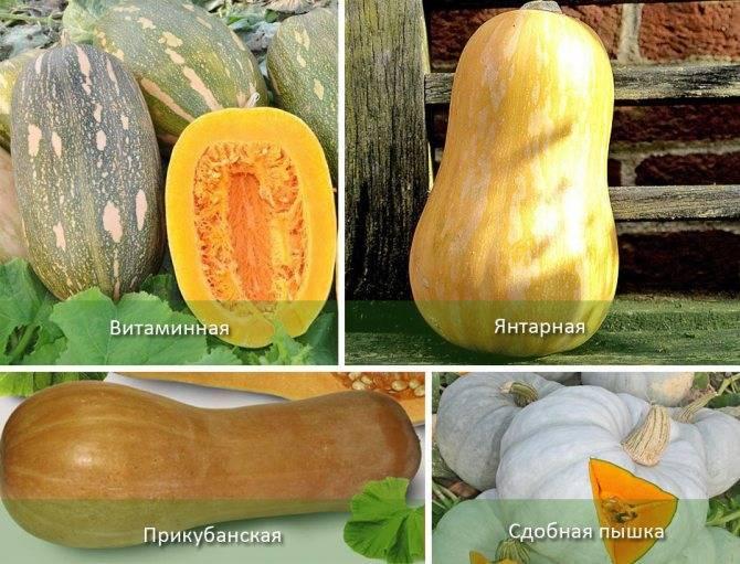 Удивительные круглые кабачки: сорта и мнения огородников
