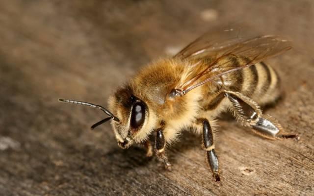 Лечение и профилактика нозематоза у пчел